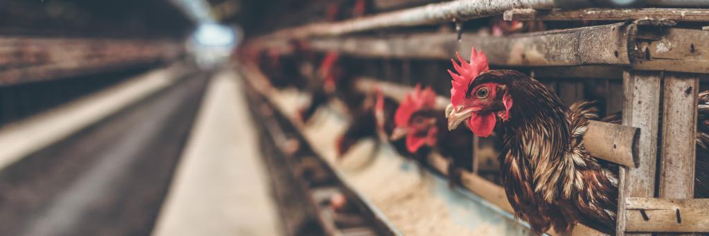 Massentierhaltung – Der Irrsinn unserer heutigen Tierhaltung